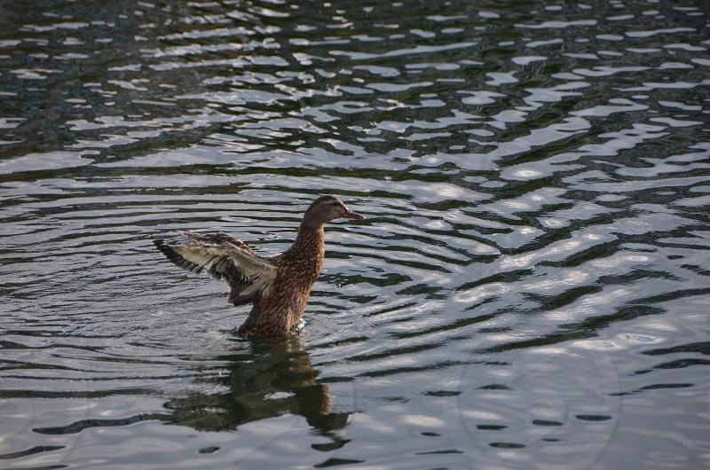 Duck water pond inflight  photo