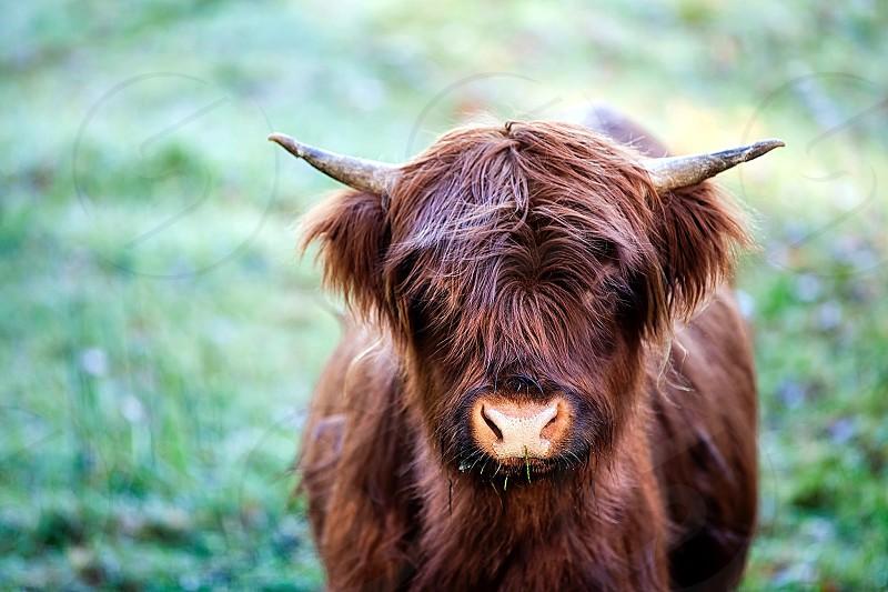 brow hairy buffalo photo