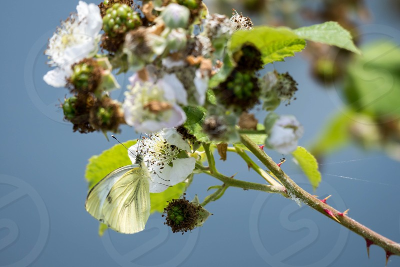 Large White (Pieris brassicae) Butterfly Feeding on a Blackberry Flower photo