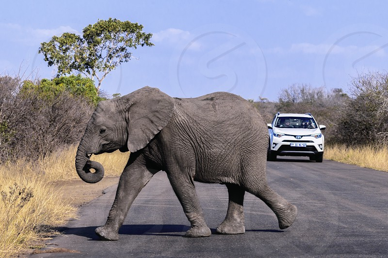 Young elephant crossing the road in front of traffic on safari photo