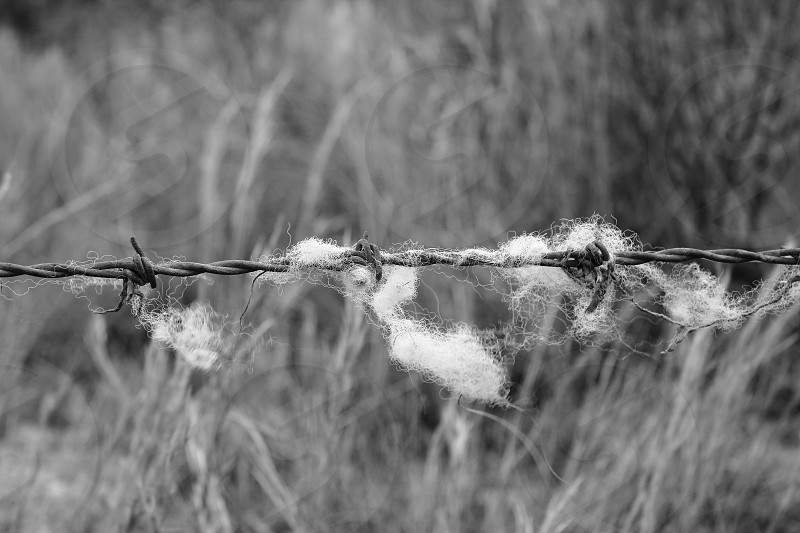 barber wire with sheep wool engaged photo