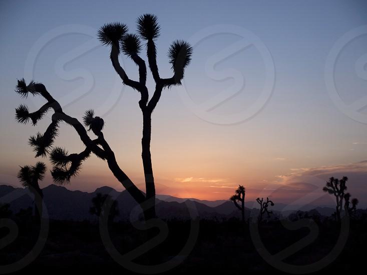Joshua tree. Sunset. Silhouette. Desert. photo