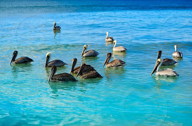 Pelican birds swimming in Caribbean beach of Mexico photo