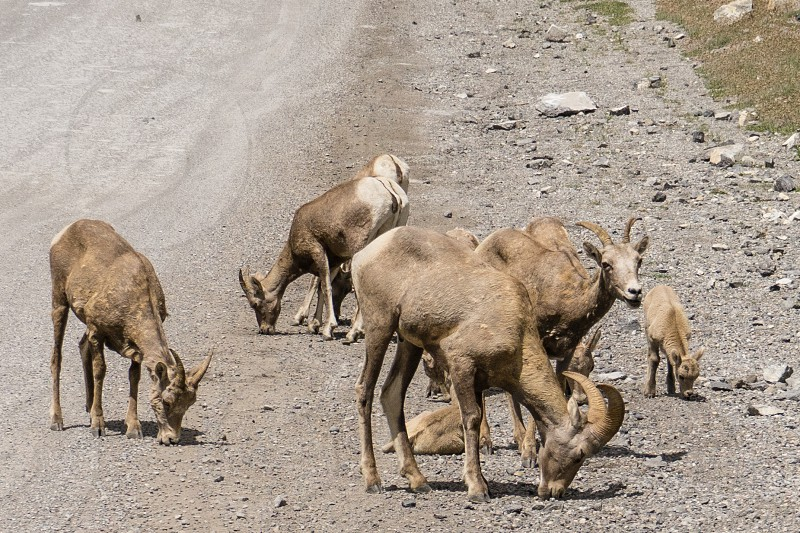 Group of mountain goat/sheeps at the base of Ha Ling Peak Mountain Trail photo