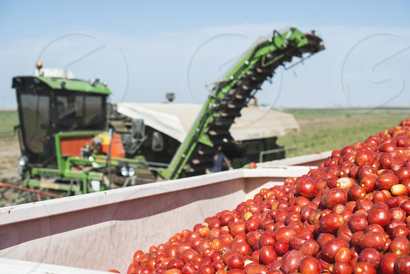Harvester collects tomatoes in trailer. Close up pile tomatoes photo