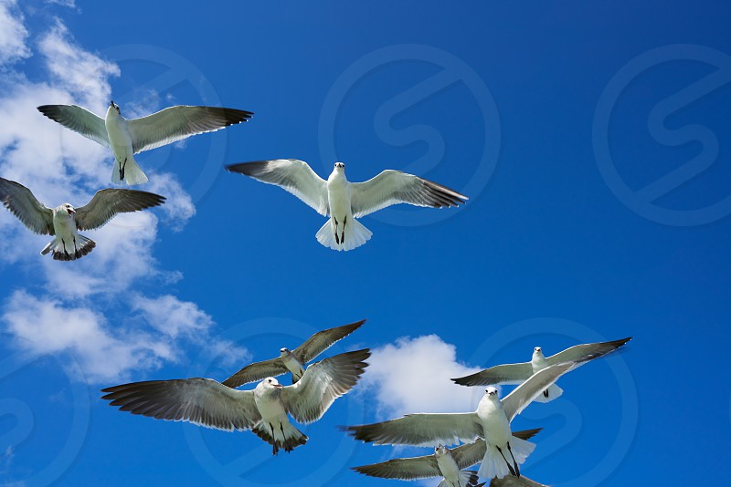 Seagulls sea gulls group flying on blue sky in Caribbean sea photo