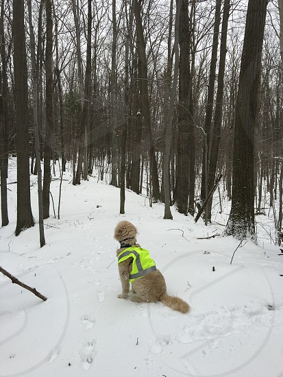 Goldendoodle dog hunting vest neon yellow winter snow forest woods no people tree looking away from camera photo