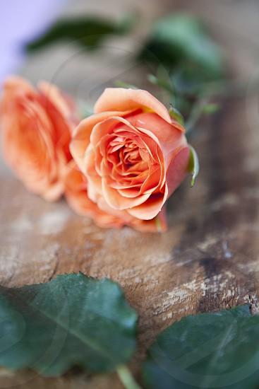 roses orange natural light photo