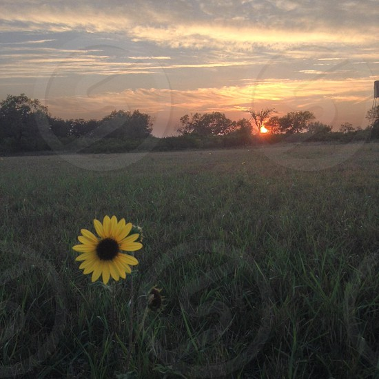 view of sunflower on grass field during sunset photo