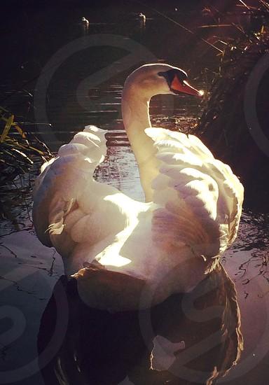 Swan in the sunlight  photo
