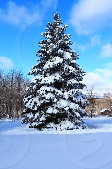 #Winter #Pine tree # Snow #Cold photo
