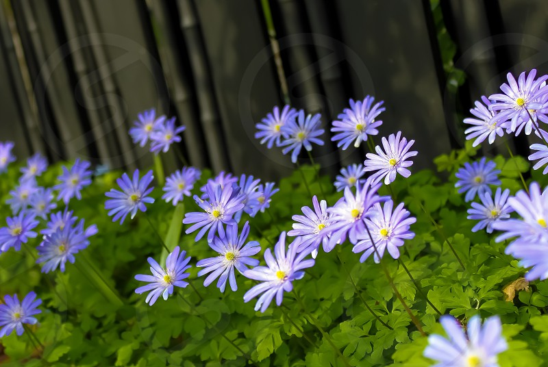 purple flowers and green leaf plant photo