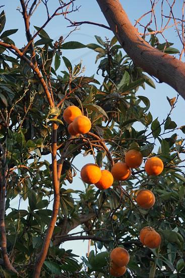 Oranges at sunset photo