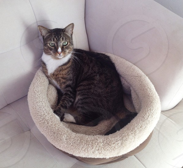 black and silver tabby cat photo