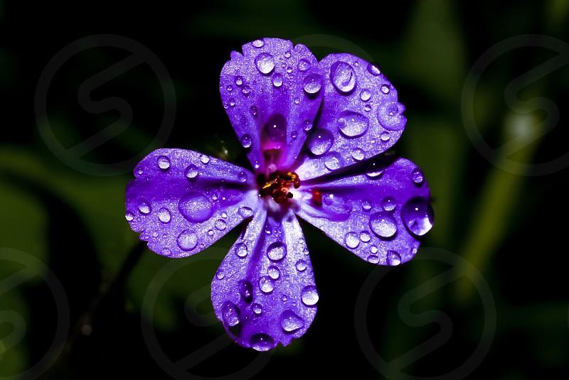 Flower ultra violet purple violet pollen rain water spring Oregon  photo