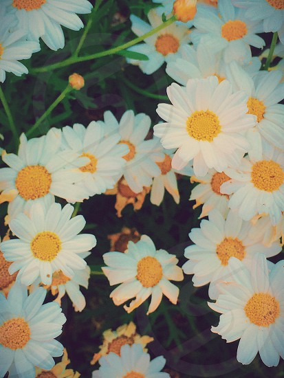 Plant flower nature daisy photo
