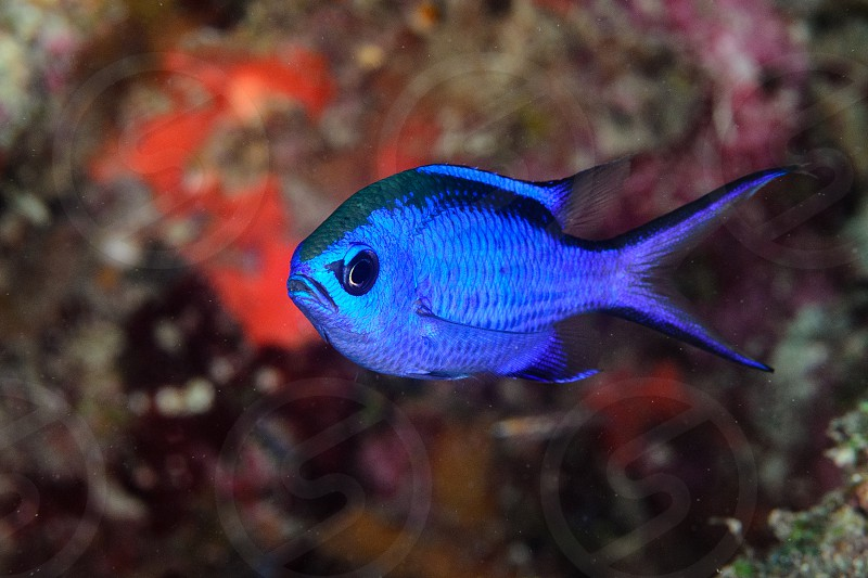 A blue chromis fish on a coral reef in Florida. photo