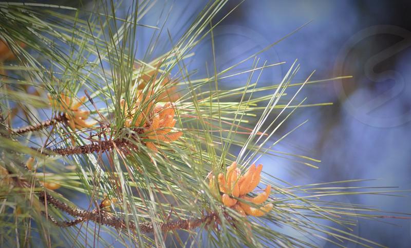 Virginia young pine photo