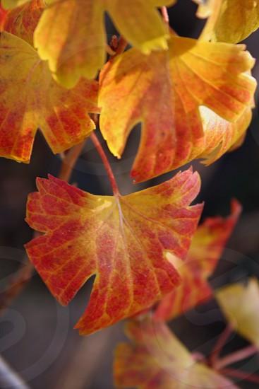 Oak Leaves photo