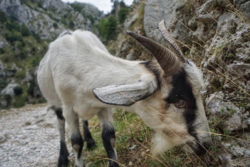 Animal goat trekking hiking mountain mountains peaks alps mountain goat feeding eating horns eye  photo