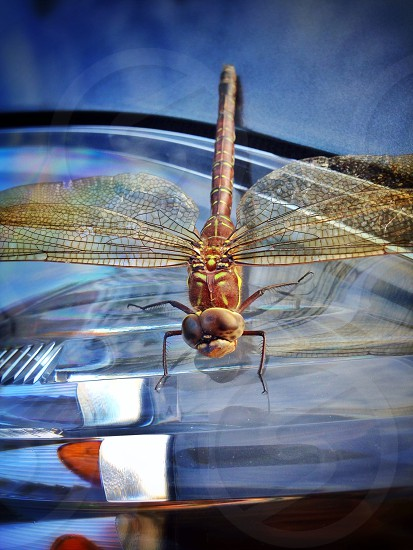 brown dragonfly photo