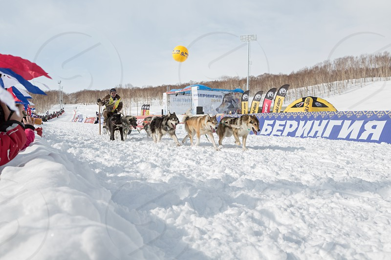PETROPAVLOVSK-KAMCHATSKY KAMCHATKA RUSSIA - MARCH 2 2014: Running sled dog team Kamchatka musher Nivani Ivan. Kamchatka Sled Dog Race Beringia. Race-prologue distance of 10 kilometers. photo