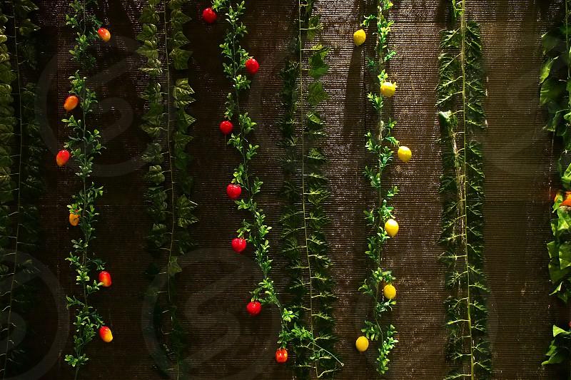 Vines. Fruit. Hanging. Yellow red orange. photo
