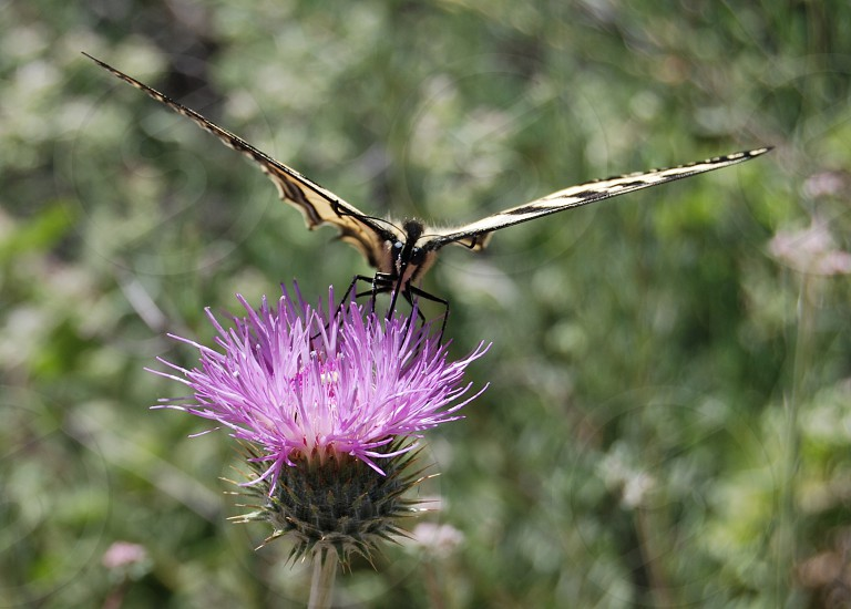 focus photography of tiger swallowtail butterfly perched on purple petaled flower photo