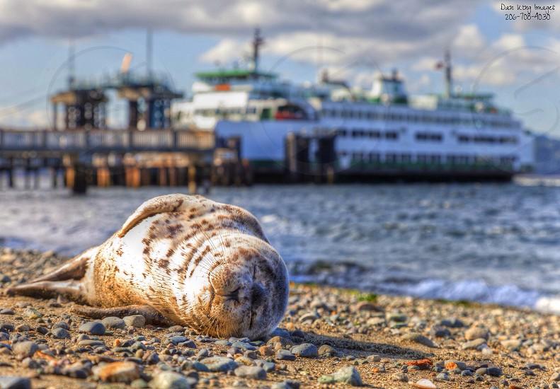 A baby Seal sleeps near the ferry in Edmonds Wa.   photo