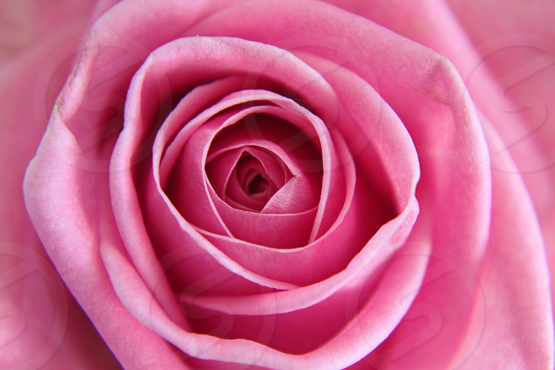 top view of pink rose photo