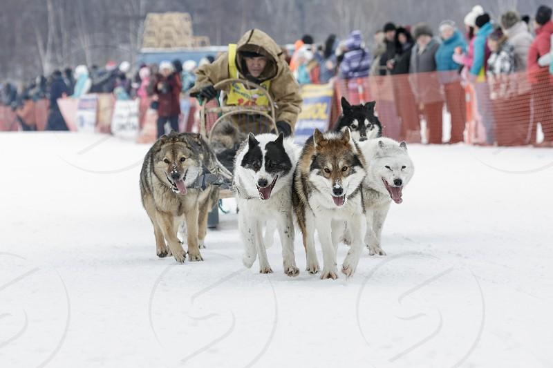 ESSO VILLAGE KAMCHATKA RUSSIA - MARCH 8 2013: Running dog sledge team Kamchatka musher Valery Chuprin. Kamchatka traditional Sled Dog Race Beringia. Eurasia Russian Far East Kamchatsky Krai Bystrinsky Region Esso Village. photo