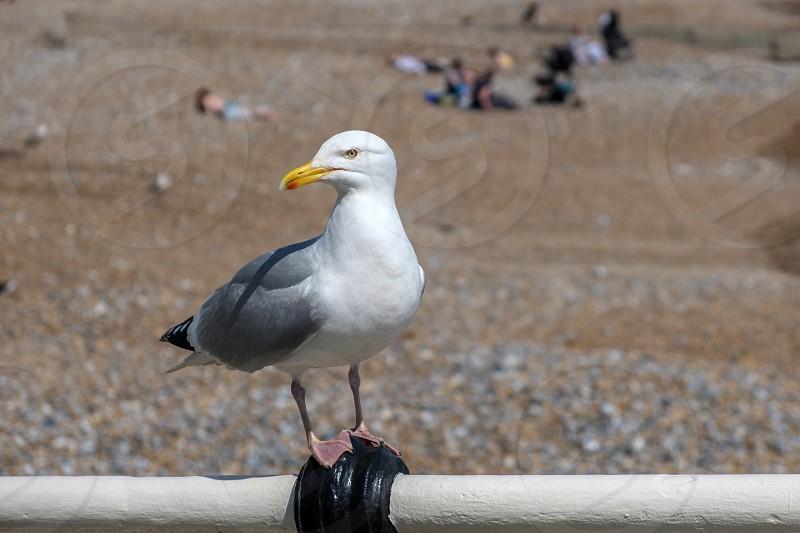 European Herring Gull (Larus argentatus) photo