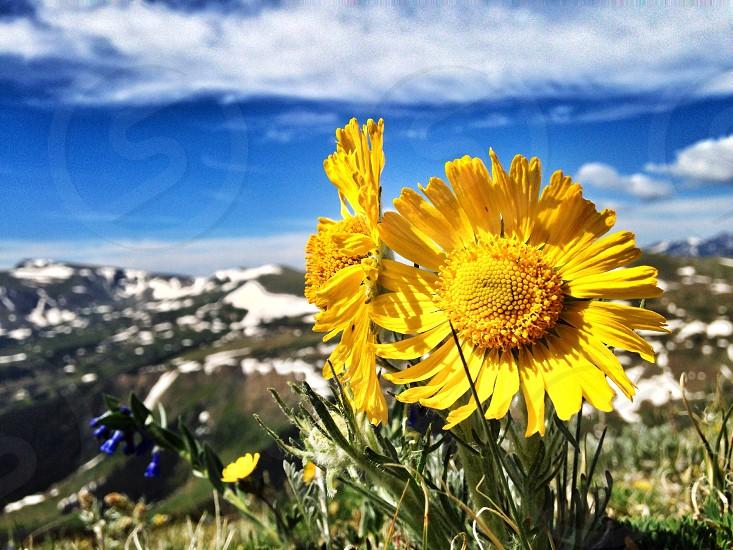 Alpine Sunflower photo