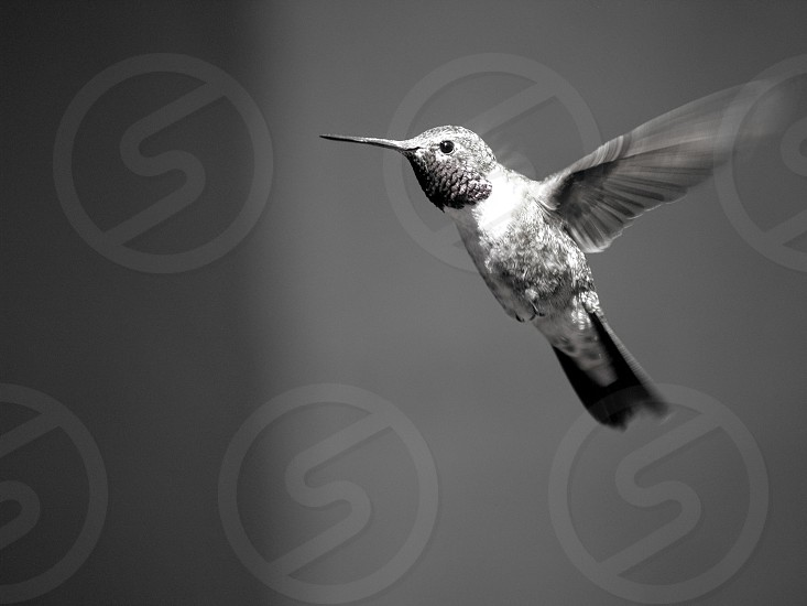 Hummingbird bird flying flight motion nature animals photo