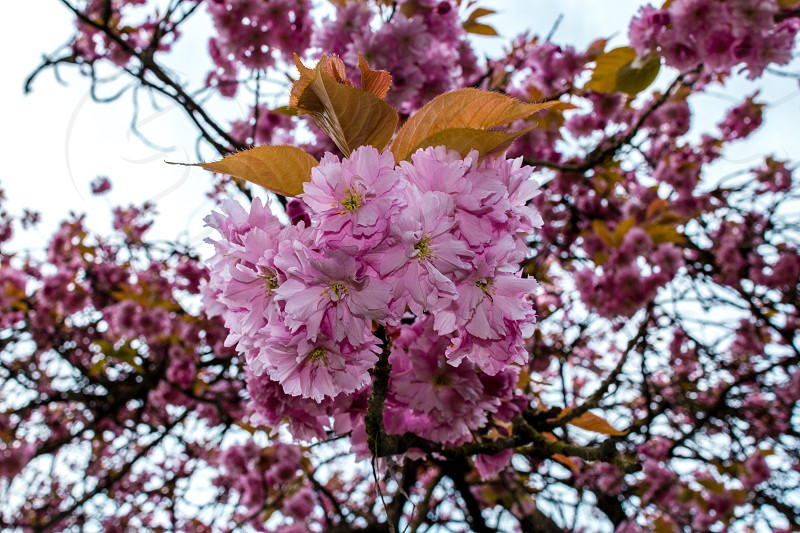 Blossoming flowers in Vancouver Canada  photo