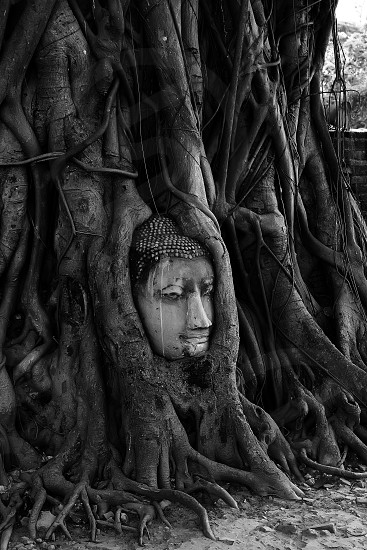 buddha head in tree rootsbuddhaheadtemplethailandrootsroottreeamazingunseen photo