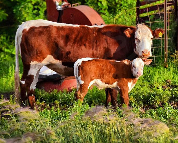 Cow calf mother motherly animal animals cute adorable nature outside outdoors natural lighting light dslr brown white color colorful summer photo