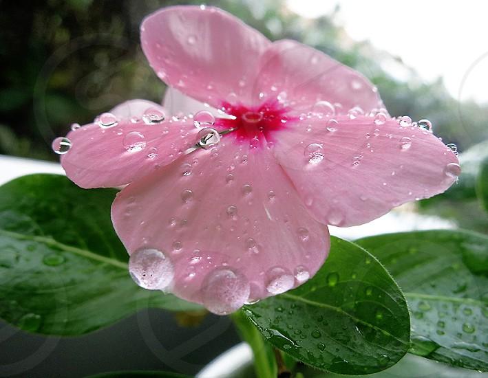 Raindrops on Pink Vinca Petals photo