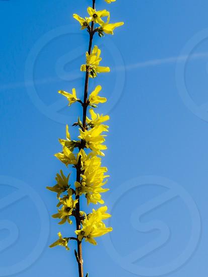 Forsythia and blue sky photo