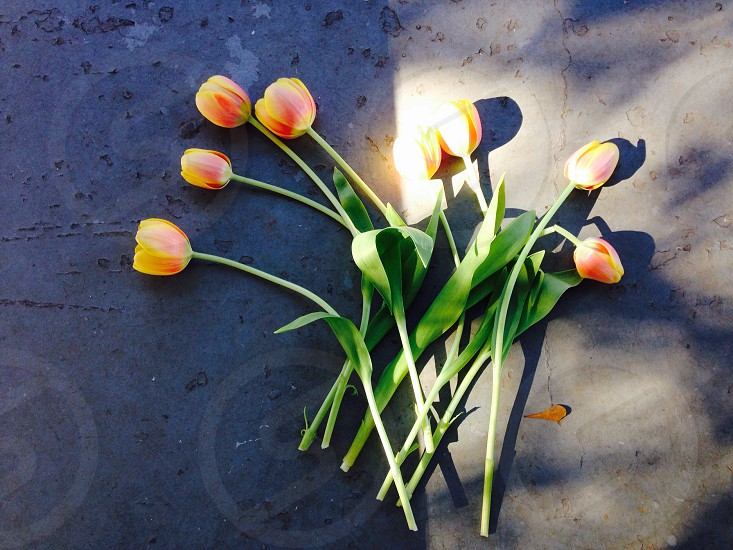 Tulips in Sunlight • 11.26.2014 photo