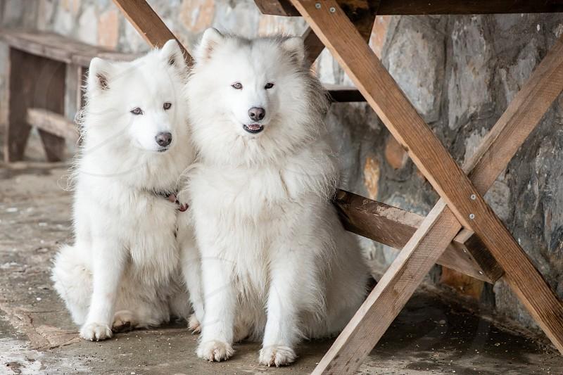 Two White Siberian Husky Dogs photo