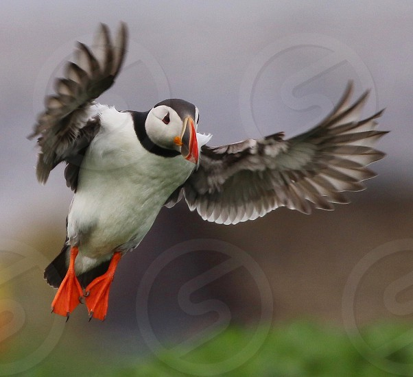 Atlanticpuffinbirdflight photo