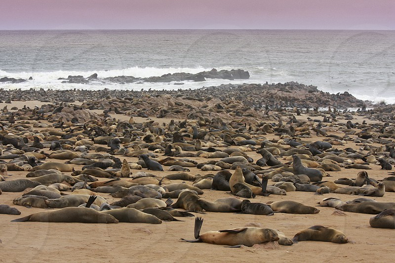 Seals in Namibia photo