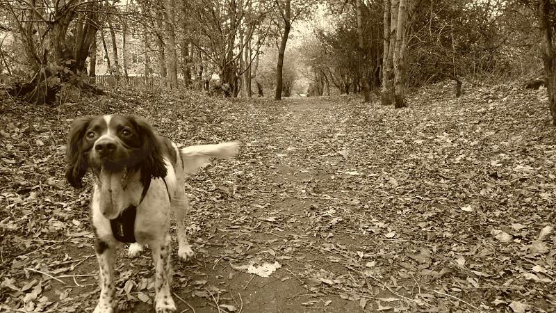 My beautiful springer spaniel Yogi photo