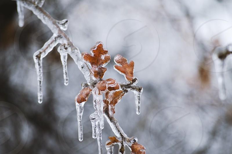Ice covers leaves closeup. photo