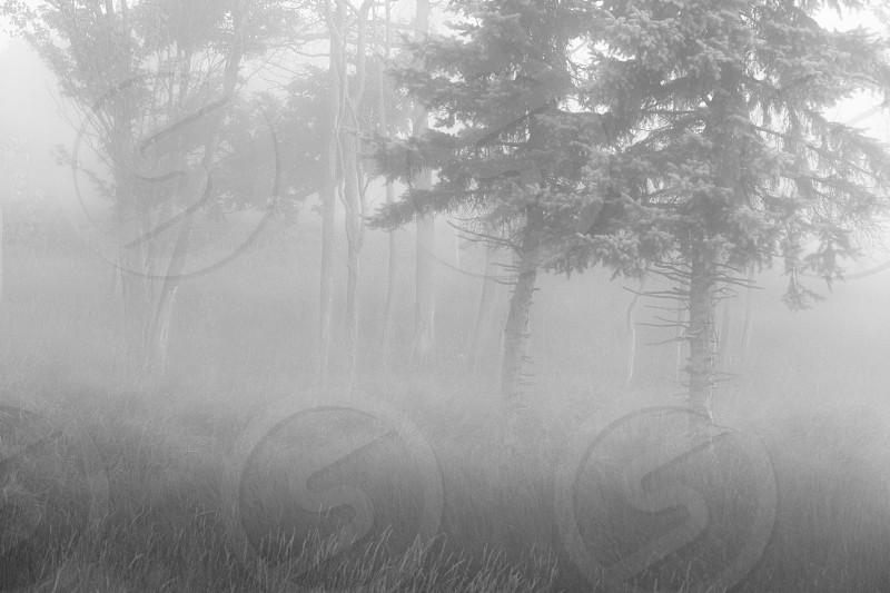 trees forest mist fog misty foggy monochrome photo
