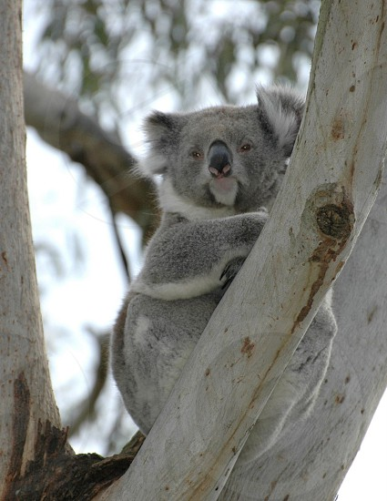 selective focus image of grey koala on a white tree branch during daytime photo