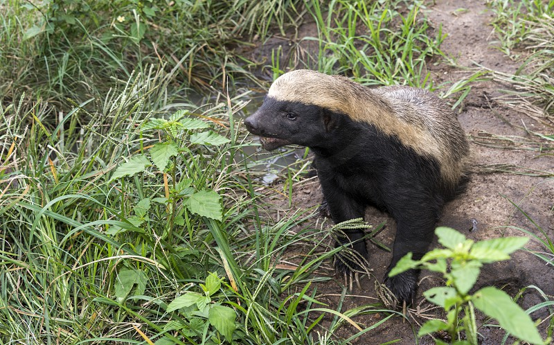 african honey badger or Mellivora capensis in south africa photo
