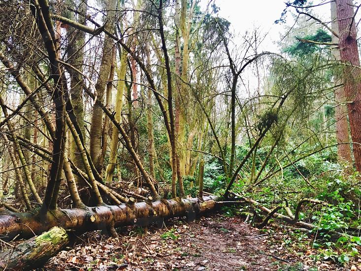 Fallen tree woods forest sticks stump greenery winter wet rainy leaves bark tall  photo