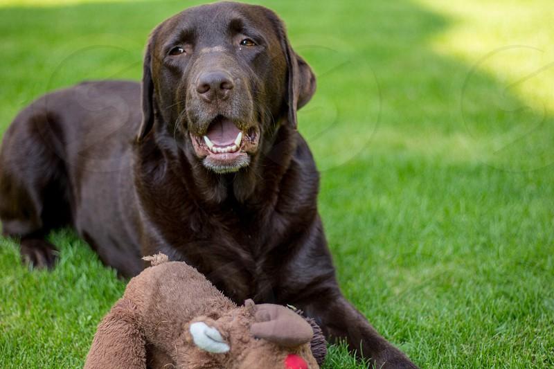 chocolate labrador retreiver on green grass by brown plush toy photo